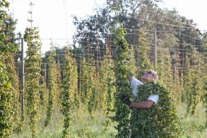 hop-harvest