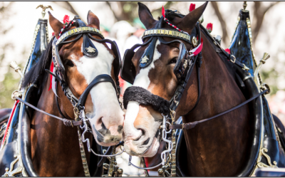 World Renowned Budweiser Clydesdales to Appear at Country Thunder and Pima County Fair