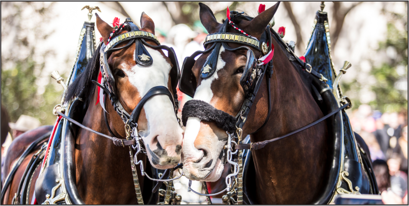 World Renowned Budweiser Clydesdales to Appear in Tucson, Arizona